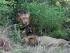 Lions-at-kill-4
