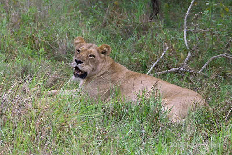 Lioness-resting-after-kill