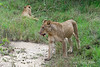 Lionesses-after-kill