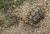 Parrot-beaked-tortoise