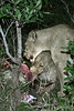 Lionesses-eating-kill-at-night