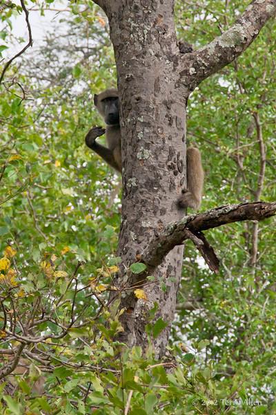 Baboon-in-tree