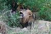 Lions-at-kill