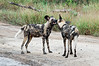 Wild-dogs-at-play-3