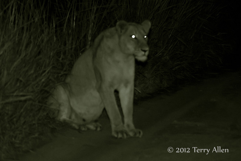 Pregnant-lioness at night