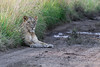 Pregnant-lioness