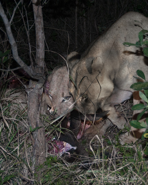 Three-lionesses-feasting-on-a-nyala at night
