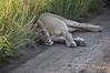Pregnant-lioness-2