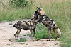 Wild-dogs-at-play