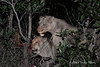 Lionesses-eating-kill-at-night-3