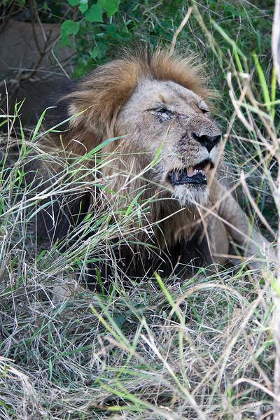 Lion-at-kill-2