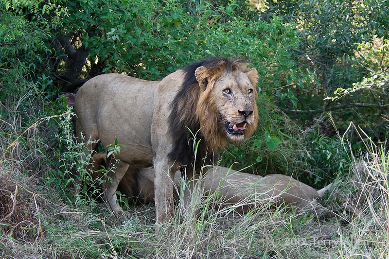 Lions-at-kill-5