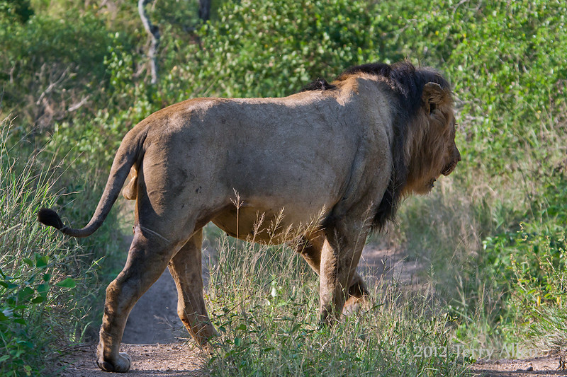 Male-lion-full-of-kudu