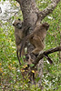 Baboons-in-tree-2