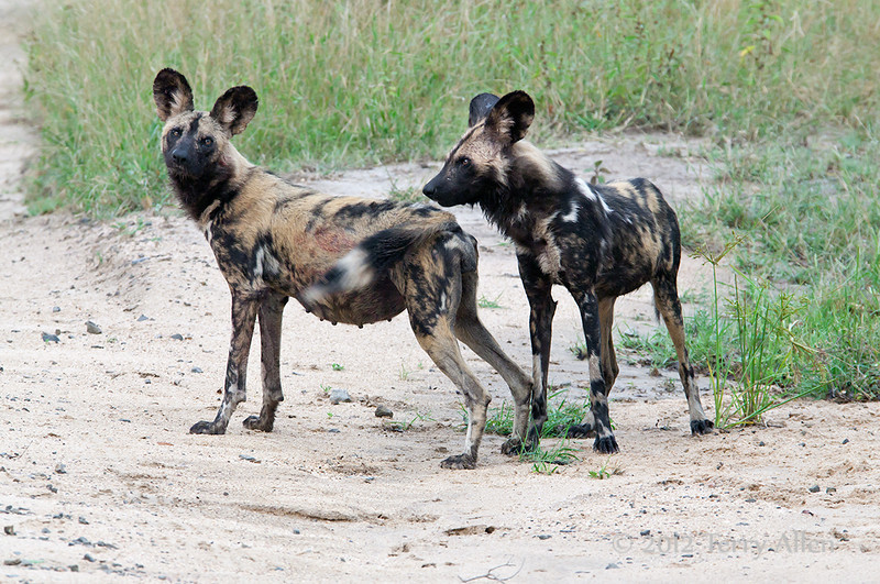Wild-dogs-after-kill, alpha pair
