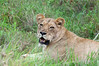 Lioness-resting-after-kill-2