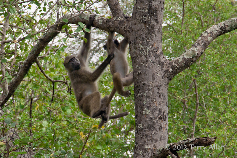 Baboons-in-tree