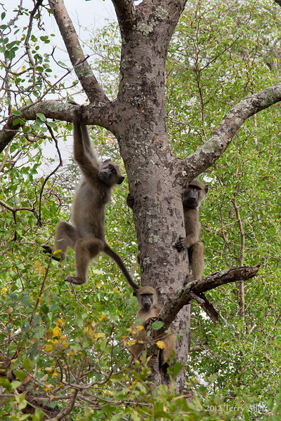 Baboons-in-tree-3