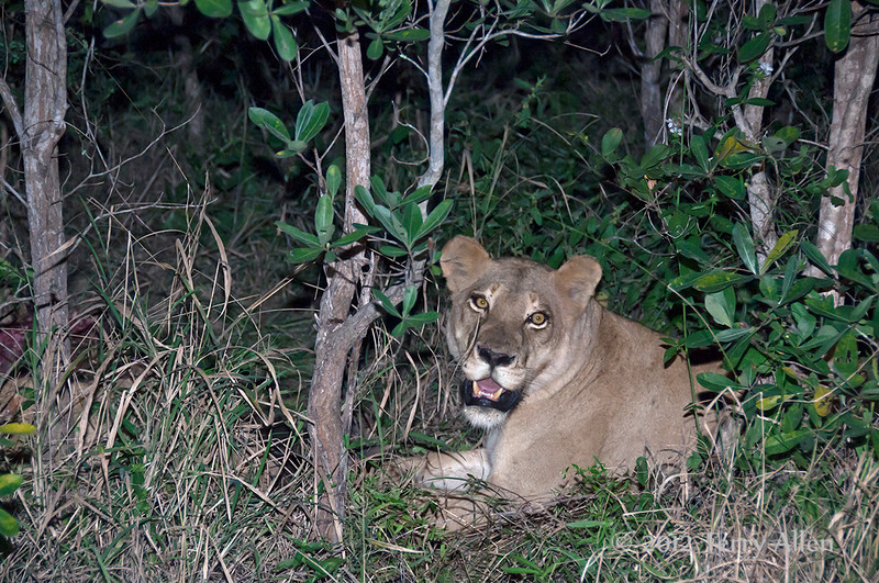 Lioness-resting-after-large-meal at night