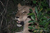 Lioness-after-feasting at night