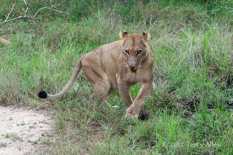 Lioness-after-drinking