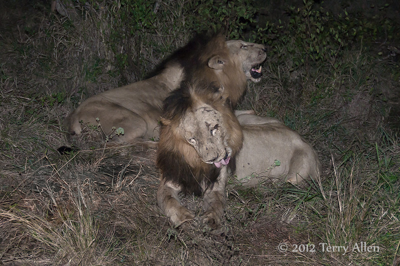 Lions-at-night-after-feasting