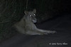 Pregnant-lioness at night-2