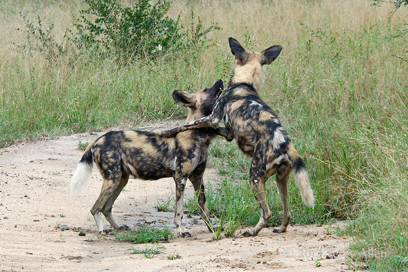 Wild-dogs-at-play-2