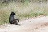 Baboon-waiting-for-lift