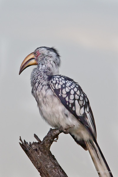 Yellow-billed-horn bill