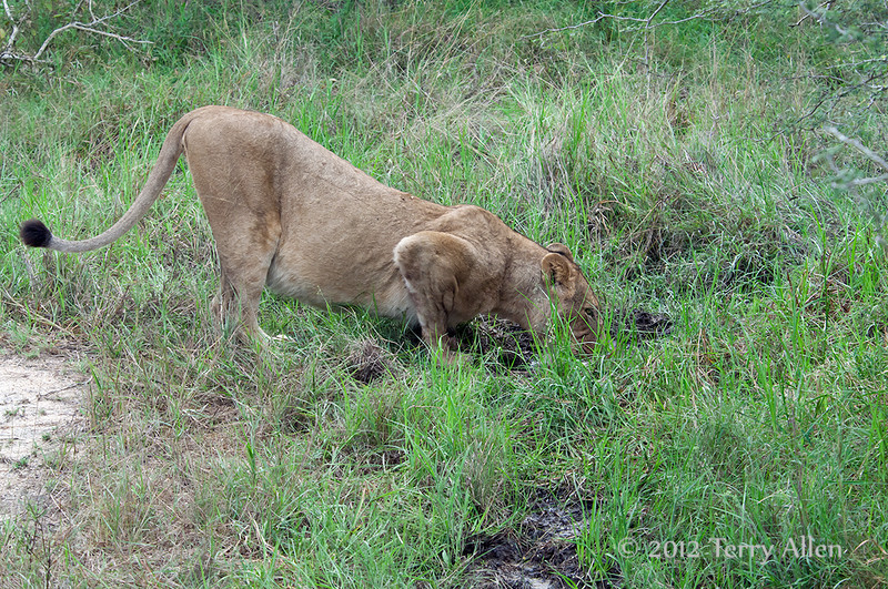 Lioness-drinking-after-kill