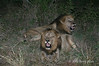 Lions-at-night-after-feasting-3