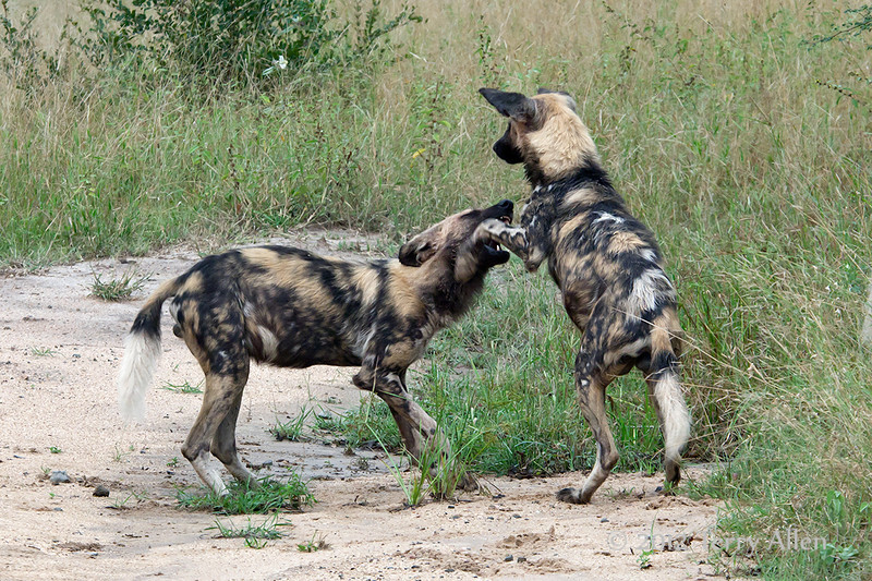 Wild-dogs-at-play-5