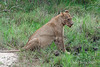 Lioness-drinking-after-kill-2