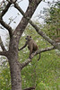 Baboon-in-tree-2