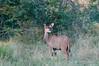 Kudu-on-alert-2