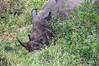 White-rhino-in-bush