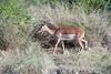Impala-in-bush