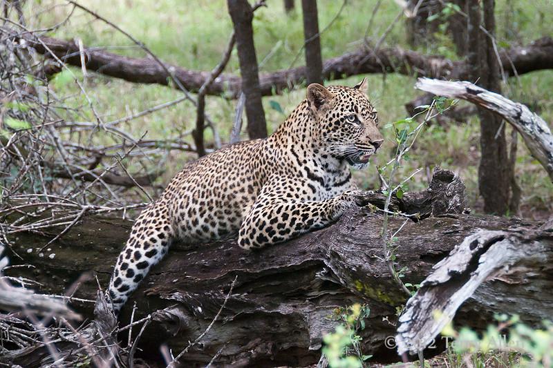 Female-leopard-4