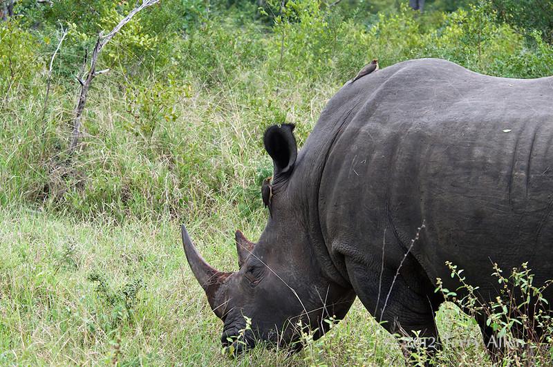 White-rhino-&-tick-birds-2