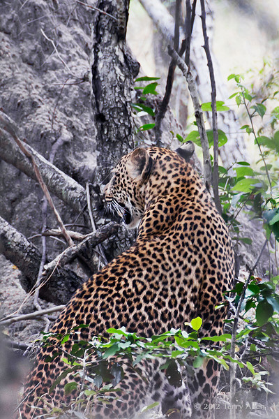 Female-leopard-in-bush