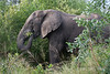 Elephant-eating-branches-2