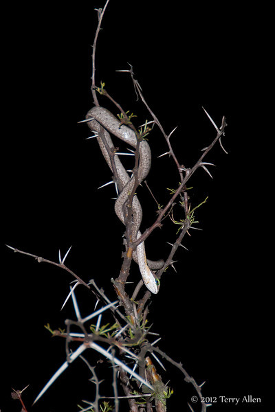 Boomslang-in-thorn-tree-at-night
