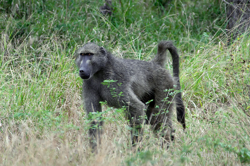 Baboon-in-bush