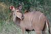 Kudu-grooming