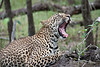 Female-leopard 6 yawning