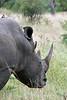 White-rhino-&-tick-birds