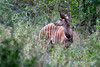 Kudu-on-alert-3