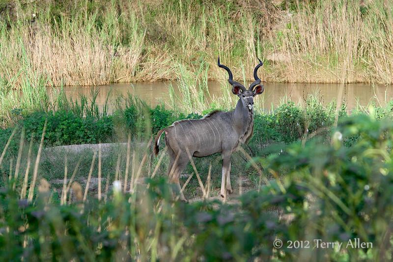 Kudu-by-river
