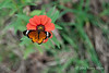 African-monarch-butterfly-on-daisy